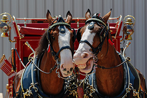 budweiser-clydesdales-at-Ambassadors-of-Excellence-Big-Jake-Award-party-terrance-a-smith-distributing-2014.jpg