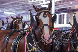budweiser-clydesdales-terrance-a-smith-distributing-2-300x200.jpg