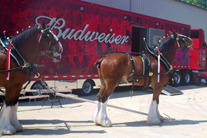 budweiser-clydesdales-terrance-a-smith-distributing-300x200.jpg